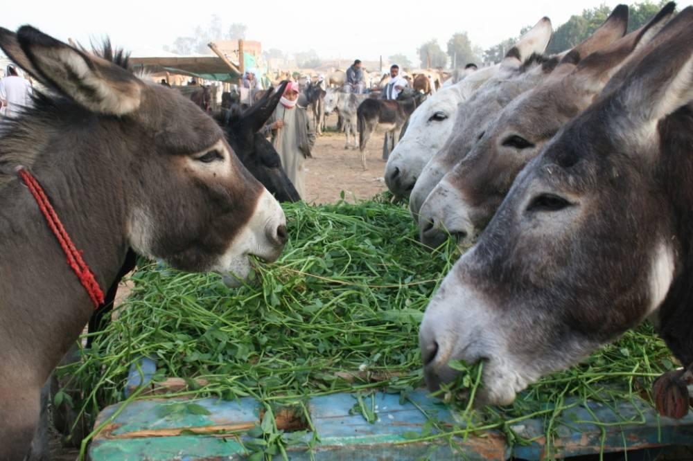 Egypte, 17 au 18 jan 2011, Luxor (Daraw) 225 - Copie